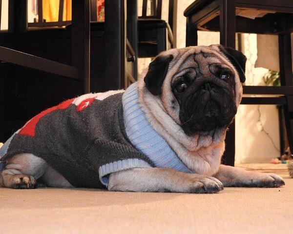 Co powinieneś wiedzieć o rasie psa mops?