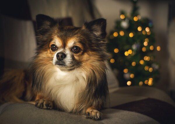 Co powinieneś wiedzieć o rasie psa Chihuahua?
