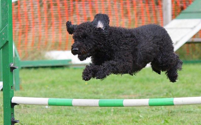 Czym jest agility dla psów? Dlaczego warto tego spróbować?
